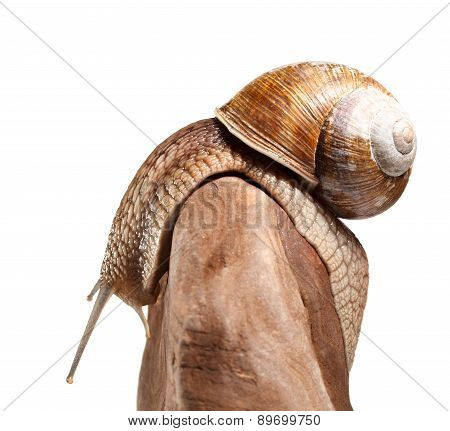 Garden Snail Bend Over Stone