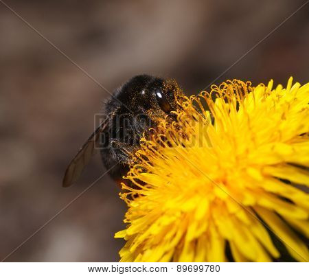 Bumble Bee Pollinates Flower
