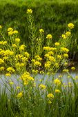 pic of turnips  - Closeup of yellow budding flowering and overblown turnip rape or Brassica rapa subsp - JPG