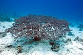 Acropora Coral At The Bottom Of Tropical Sea, Underwater poster