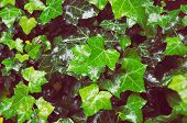 picture of ivy  - wet common ivy green carpet with new and old leaves close up  - JPG