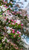 foto of bud  - Closeup of the deicate blossoms and buds of a crabapple tree in the early spring season - JPG
