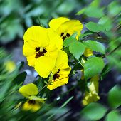 picture of violet flower  - Yellow wild pansy flowers  - JPG