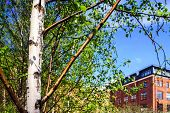 pic of spring-weather  - Small young birch in spring city park sunny weather Moscow Russia - JPG