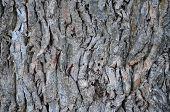 stock photo of bohemia  - large oak bark - JPG