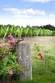stock photo of bordeaux  - Rosebush and vineyards near Bordeaux in France - JPG