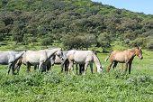foto of wild horses  - Herd of horses in a meadow - JPG
