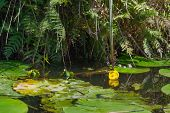 picture of water lily  - Yellow water lily in nature water - JPG