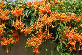 pic of trumpets  - Orange trumpet - JPG