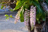 picture of rare flowers  - Close up Rhynchostylis gigantea flower on tree - JPG