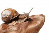 pic of helix  - Macro of garden snail  - JPG