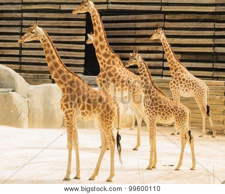 The giraffs of zoological parc of Paris.