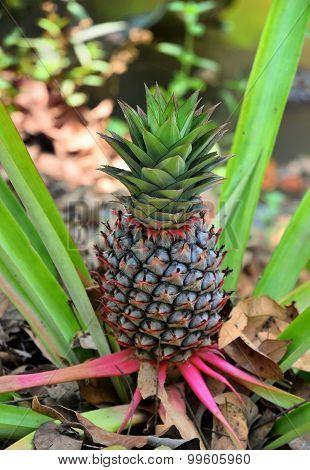 Pineapple Ananas Vietnam