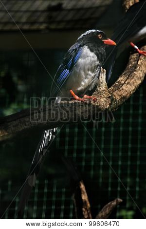 Red-billed blue magpie (Urocissa erythrorhyncha). Wild life animal.