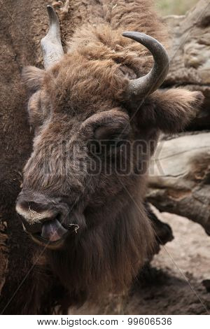 European bison (Bison bonasus), also known as the wisent or the European wood bison. Wild life animal.