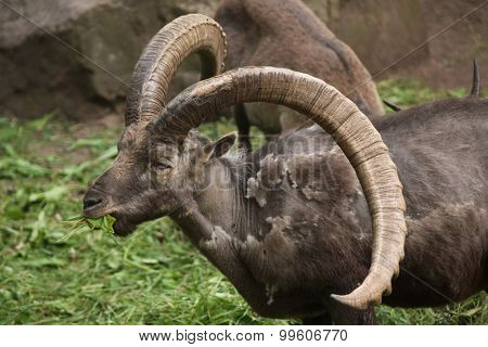 Alpine ibex (Capra ibex), also known as the steinbock or bouquetin. Wild life animal.