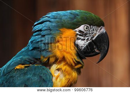 Blue-and-yellow macaw (Ara ararauna), also known as the blue-and-gold macaw. Wild life animal.