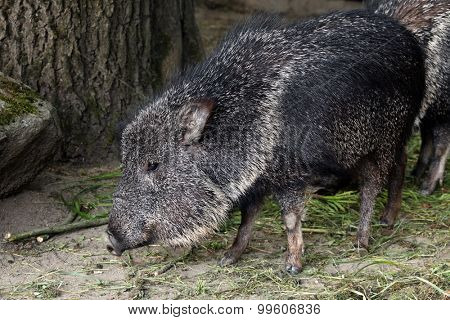 Chacoan peccary (Catagonus wagneri), also known as the tagua. Wild life animal.