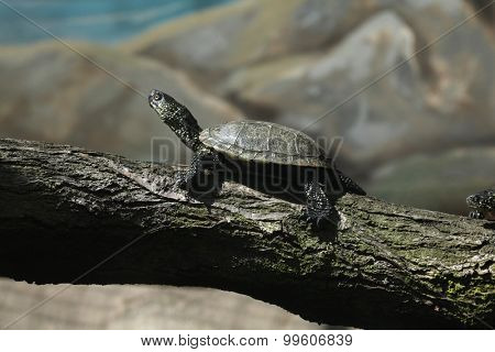 European pond turtle (Emys orbicularis), also known as the European pond terrapin. Wild life animal.
