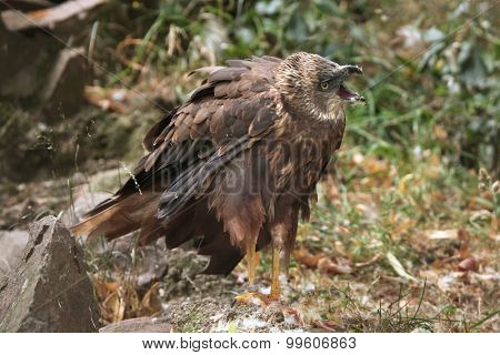 Western marsh harrier (Circus aeruginosus), also known as the Eurasian marsh harrier. Wild life animal.