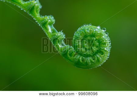 Pearls On Fiddlehead Of Fern