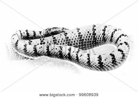 Black and white portrait of oriental whip snake, green viper