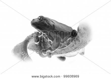 Black and white portrait of tropical frog