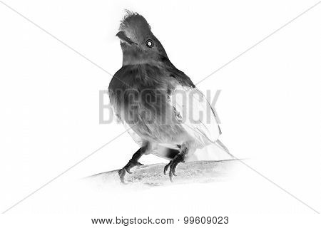 Black and white portrait of bird, Cotinga, Cock on the rock