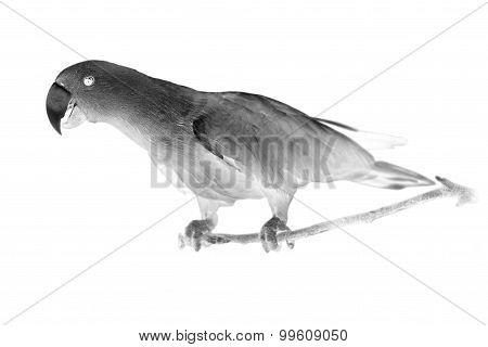 Black and white portrait of Chattering Lory Lorius