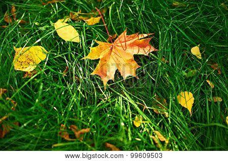 Golden autumn maple leaves on green grass