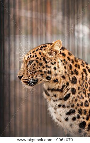 Amur or Manchurian leopard