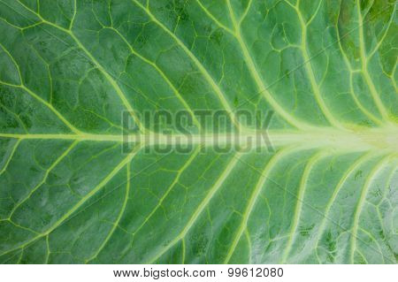 Texture of cabbage leaf