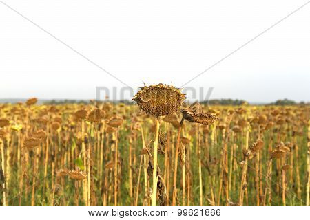Lost Crop Of Sunflowers.