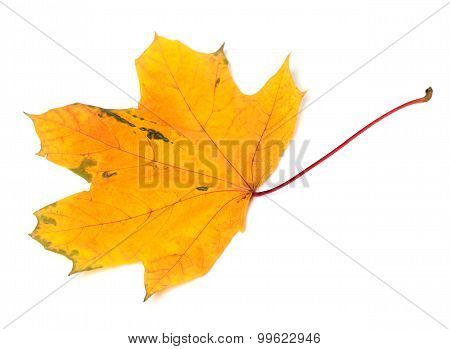 Yellow Autumn Maple-leaf On White Background