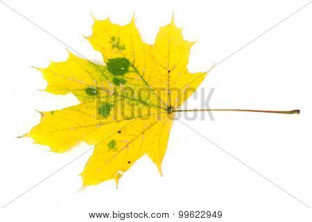 Yellow Autumn Maple-leaf
