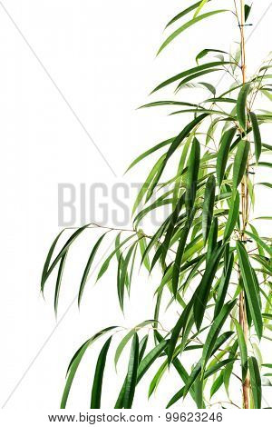 Close up on dracaena leaves.