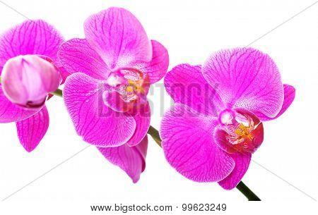 Branch of purple orchid flower.
