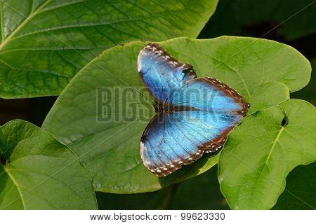 Blue Morpho Butterfly on leaves