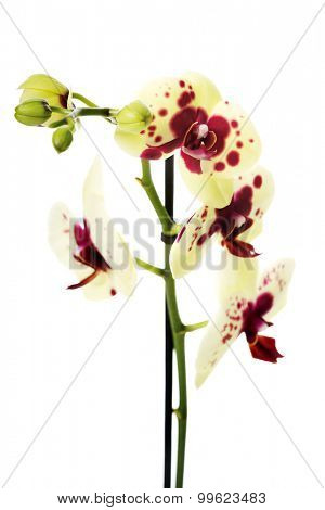 Branch of yellow and purple orchid flower.