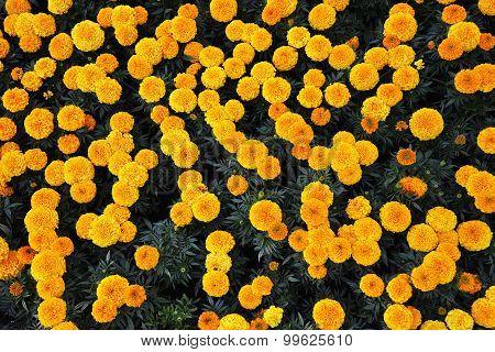 Sunny  Marigolds
