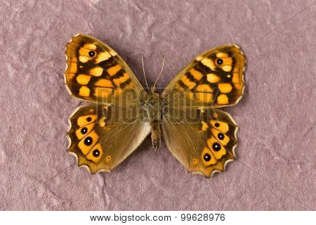 Pararge aegeria aegeria butterfly or Speckled Wood in English, originating from France