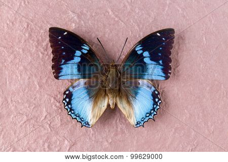 Charaxes Smaragdalis or Western Blue Charaxes in English as found in Maka, Central Republic of Africa