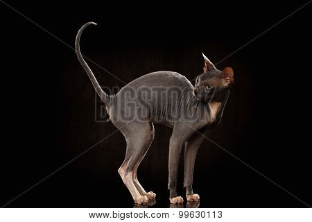 Sphynx Cat Funny Standing And Looking Back Isolated On Black