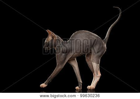 Sphynx Cat Funny Standing Isolated On Black Mirror