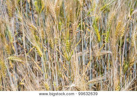Barley Ears. Hordeum Vulgare