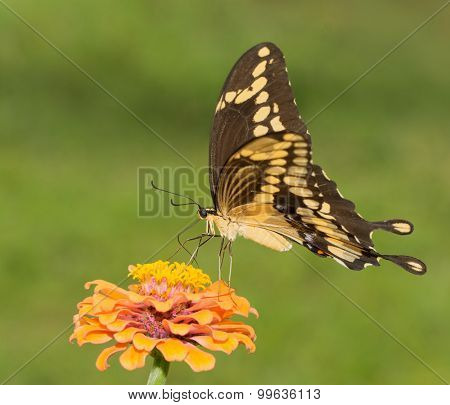 Giant Swallowtail butterfly feeding on an orange Zinnia againt green summer background