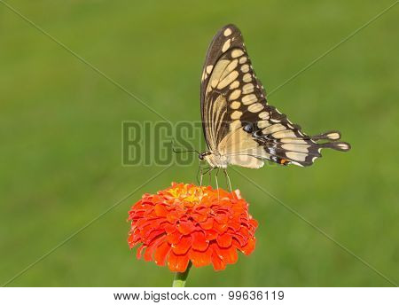 Ventral view of a Giant Swallowtail butterfly on an orange Zinnia flower