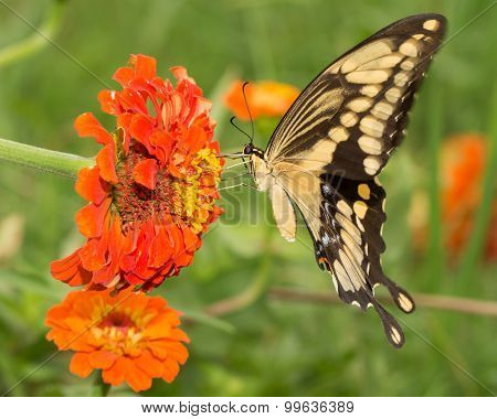 Giant Swallowtail butterfly feeding on an orange Zinnia flower, with its upper wings in motion