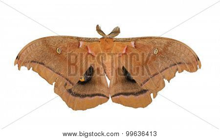 Polyphemus moth isolated on white
