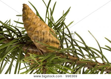 Isolated Pine Branch Witch Cone